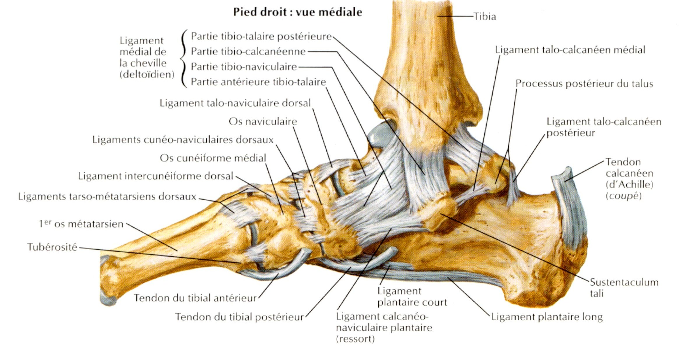 les ligaments du pied